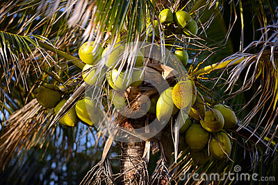 Coconuts on a coconut palm tree