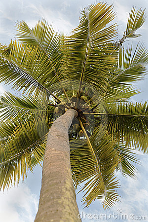 Coconuts coconut tree branches cloudy sky