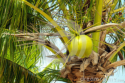 Coconuts with coconut tree