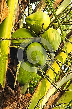 Coconuts green