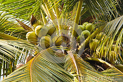 Coconuts hanging