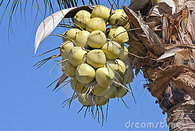Coconuts hanging from palm