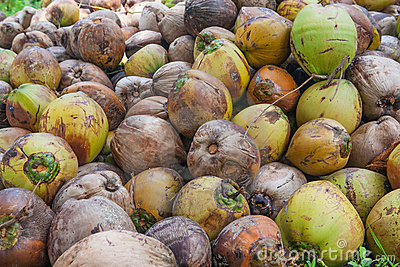 Coconuts on the island