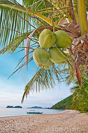 Coconuts on a palm