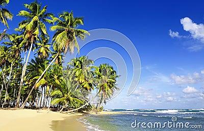 Coconuts palm