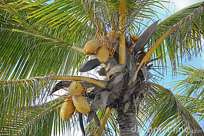 Coconuts in the palm tree