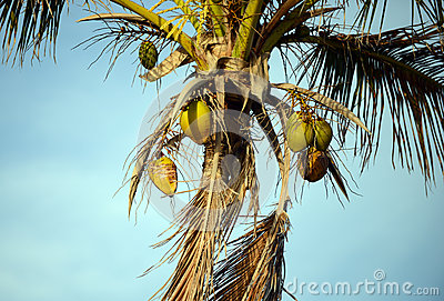 Coconuts in a palm tree