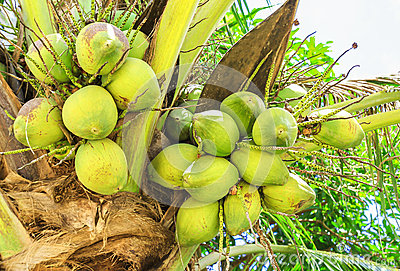 Coconuts on palm tree