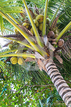 Coconuts palm tree perspective view
