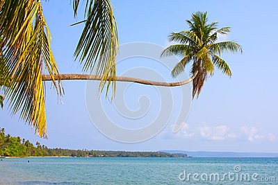 Coconuts palm tree