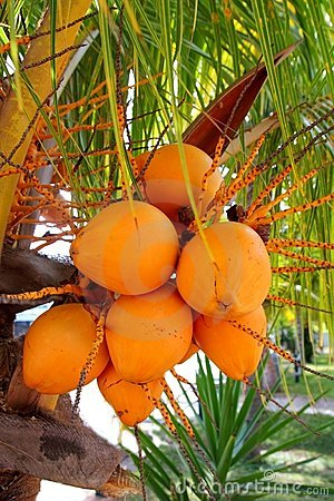 Coconuts in palm tree ripe yellow fruit