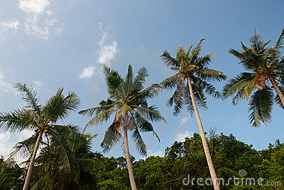 Coconuts palm trees