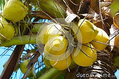 Coconuts on palmtree