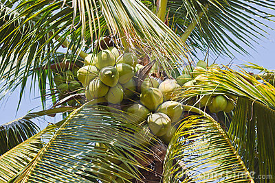 Coconuts tree