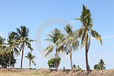 Coconuts tree on the ridge over blue sky