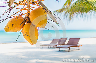 Coconuts on palm tree against tropical sand beach
