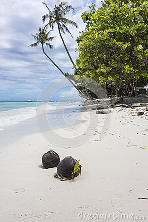 Coconuts on a Tropical White Sand Beach