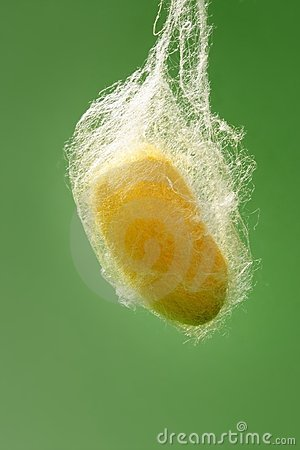 Free Cocoon Of Silkworm Hanging On Silk Worm Net Stock Images - 14811794