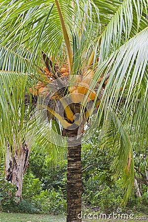 Cocos nucifera  coconut tree dwarf