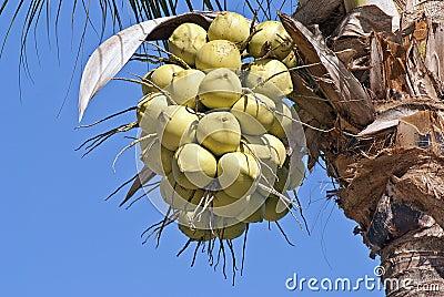 Cocos que cuelgan de la palma