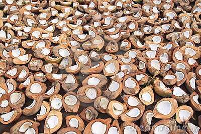 Cocos que secam no sol em Indonésia