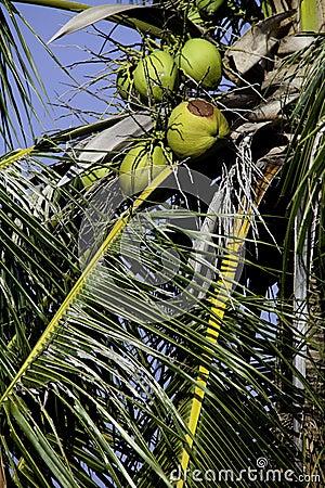 Cocos verdes