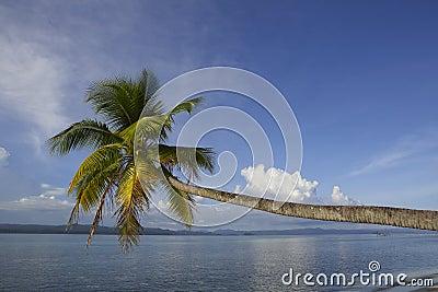 Cocotier tropical d île de paradis