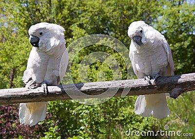 Coctatoo birds