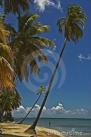 Cocunut palms