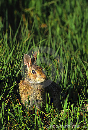 Coelho de coelho na grama