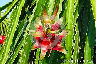Coeur d 39 un fruit de dragon au soleil photographie stock - Au coeur de dragon ball ...
