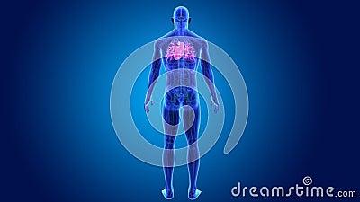 Coeur humain avec l'anatomie clips vidéos