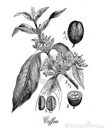 Coffea plant with coffee beans, botanical vintage engraving Stock Photo