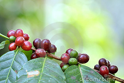 Coffee  bean on tree