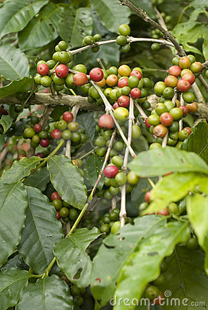 Free Coffee Beans Royalty Free Stock Image - 3435396