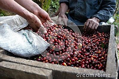 Coffee beans guatemala