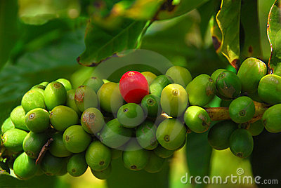 Coffee Beans Ready To Ripen