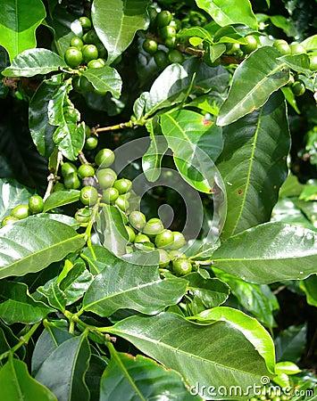 Coffee bush in plantation