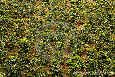 Coffee fields. Colombia