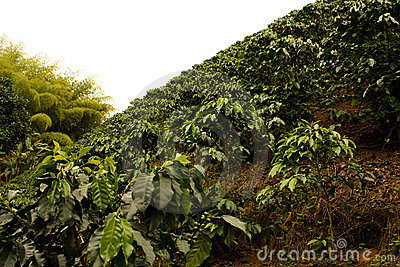 Coffee Fields Colombia Royalty Free Stock Photo Image