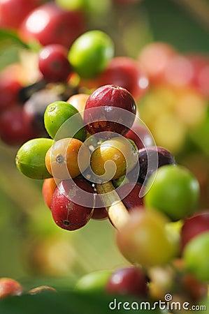 Free Coffee Plant Stock Image - 21888981
