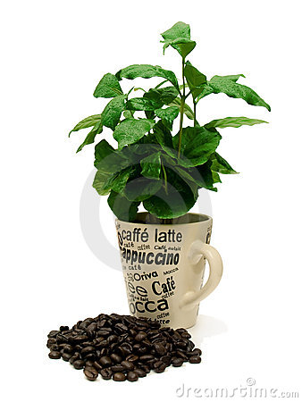 Free Coffee Plant With Coffee Beans 01 Royalty Free Stock Image - 7493146
