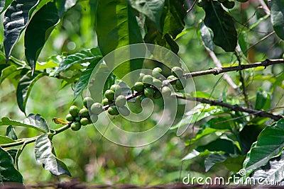 Coffee plantation patterns