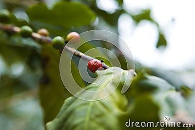 Coffee tree, beans