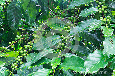 Coffee tree with green coffee beans