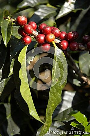 Free Coffee-tree, Guatemala 13 Stock Images - 5374654