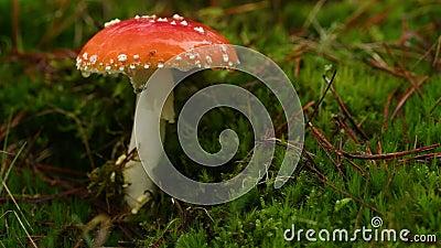 Cogumelo, amanita muscaria, com mosca e gotas de chuva video estoque