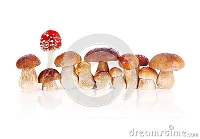 Cogumelos comestíveis e um cogumelo vermelho do veneno