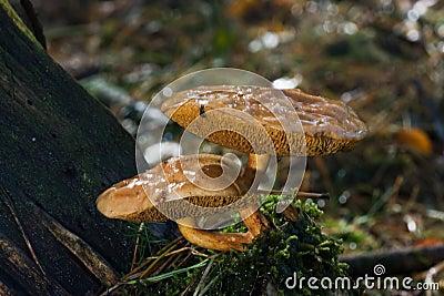Cogumelos da vaca de Jersey
