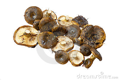 Cogumelos do necator do Lactarius